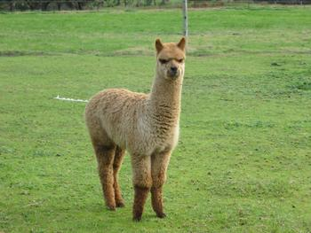 Alpaca Products - Retail Listing
